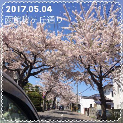 函館桜が丘通の桜開花状況