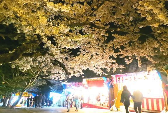函館お花見の夜桜ライトアップ時間