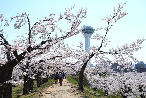函館4月イベントお花見情報